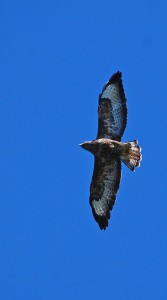 blue eagle buzzard