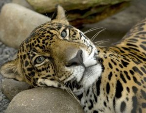 5753500-magnificent-jaguar-or-panthera-onca-resting-on-a-rock-costa-rica