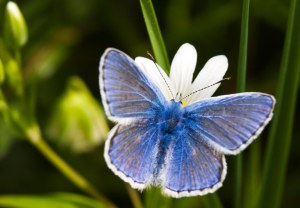 Common Blue 230509 018