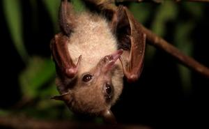 common_blossom_bat_1