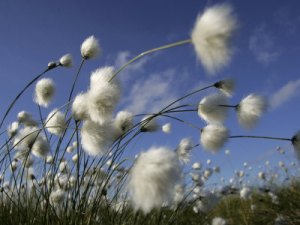 cairns-pete-cotton-grass-blowing-in-wind-against-blue-sky-norway