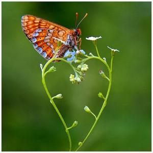 valentine-butterfly