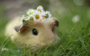 guinea-pig-210172
