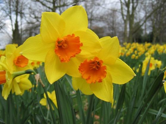 daffodil-fortune1
