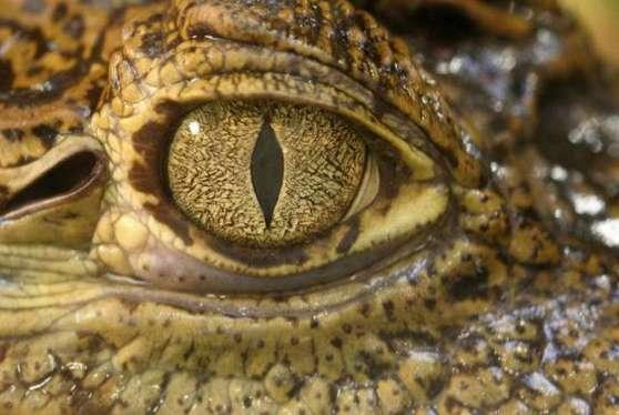 crocodiletears